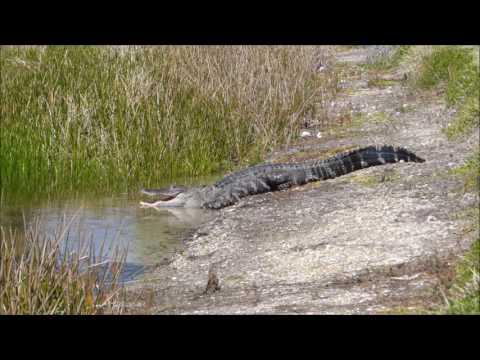 My Backyard Gator Movie, Tradition, Port Saint Lucie FL