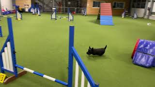 Little Agility Training session with Scottie Finnlay and Islay