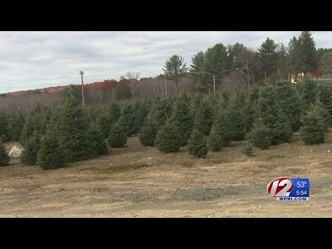 Did This Years Drought Affect The Seasons Christmas Trees