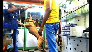 Vaccinating  a Aggressive chippiparai dog | Doberman| Cancer Treatment|My client Pets#4