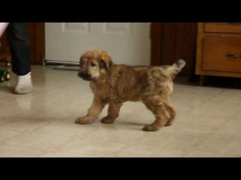 Shepadoodle Puppy For Sale