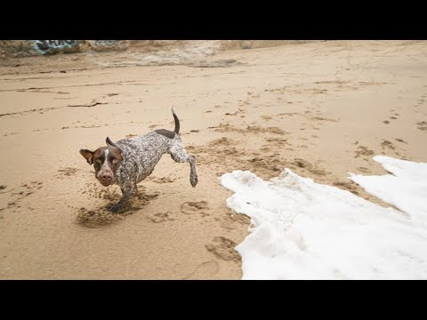 Shark-fin Cove | German Shorthaired Pointer & Labrador