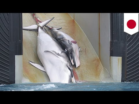 Japan to resume commercial whaling after leaving IWC - TomoNews