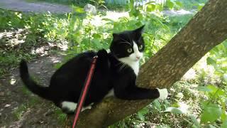 ЧЁРНО БЕЛЫЙ КОТОПЕС   кот и шлейка(1часть-утренний выгул хозяина!)