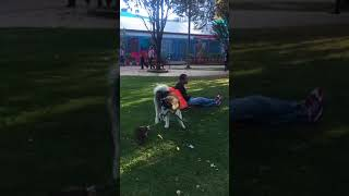 Funbestvids  small dog runs into a large dog face plants
