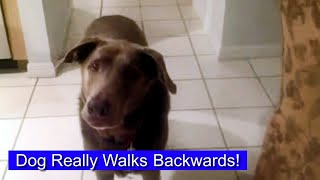 Dog Walks Backwards