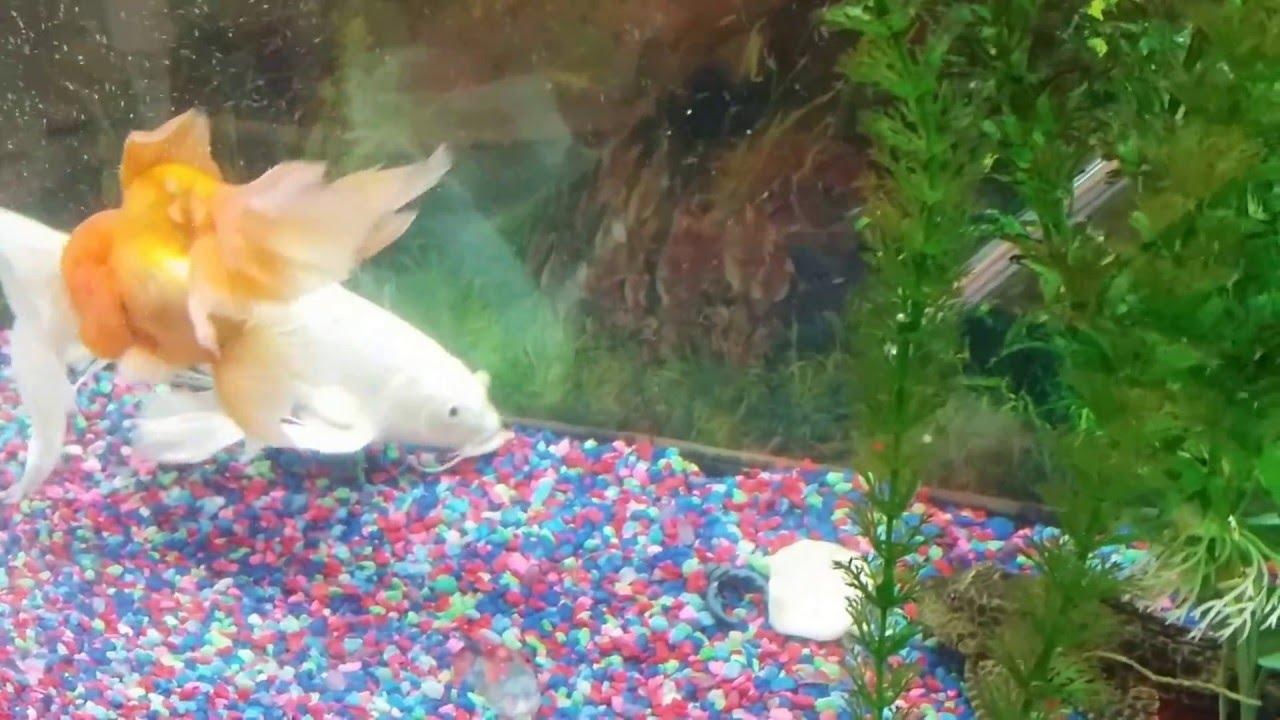 Koi fish in aquarium care - Silver Butterfly Koi Fish