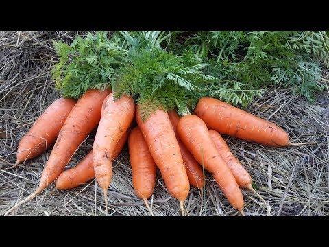 Секрет МОРКОВКИ посеяной после ЧЕСНОКА | морковки | морковка | чеснока | средняя | посеять | поздняя | урожай | ранняя | огород | лучший