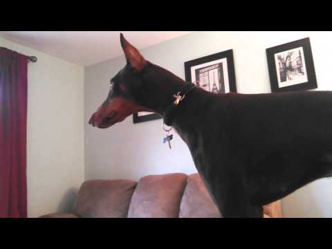 Doberman Pinscher waiting for MOMMY to get home - Excited