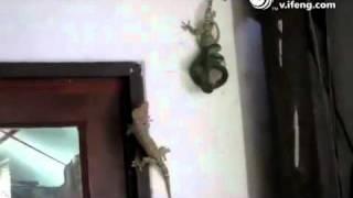 命がけで蛇に締め付けられた仲間を救うヤモリ 友達はこうであるべき.mp4 thumbnail