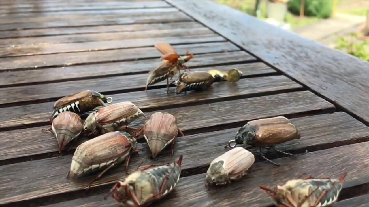 Ловля голавлей на майского жука