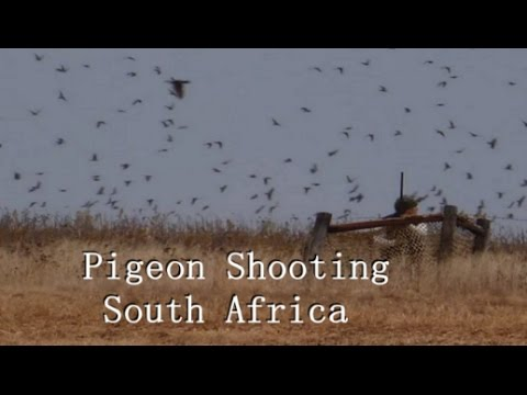 Pigeon shooting South Africa Wingshooting 2018 / £175 per person Rock Pigeon Hunting Africa.