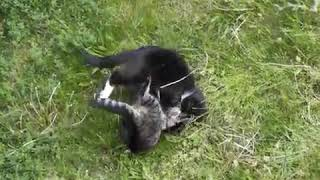 Bloody CAT VS CAT FIGHT TO THE DEATH
