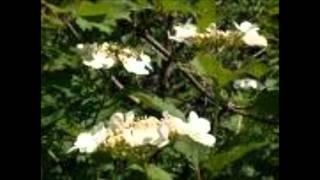 Фристайл - Цветёт калина