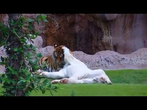 White Tiger and Bengal Tiger
