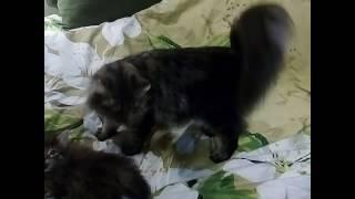 Норвежская лесная кошка с котенком