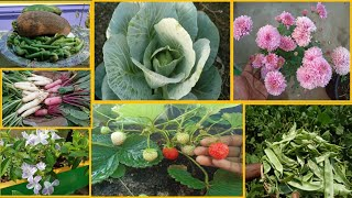 Dragon Fruit | Cosmos Flower | முட்டைகோஸ் | மூக்குத்தி அவரை | வரிடிசம்பர் | My Garden| Huge HarVest