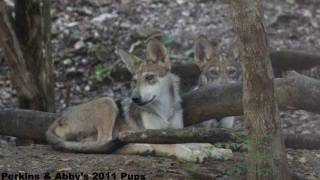 How Quickly Do Mexican Gray Wolf Pups Grow?