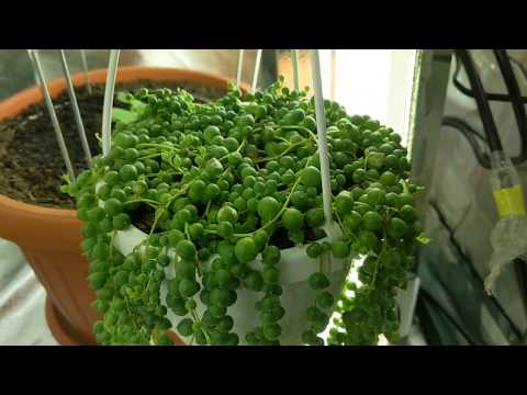 Easy Way How To Propagate String Of Pearls Succulent Plant
