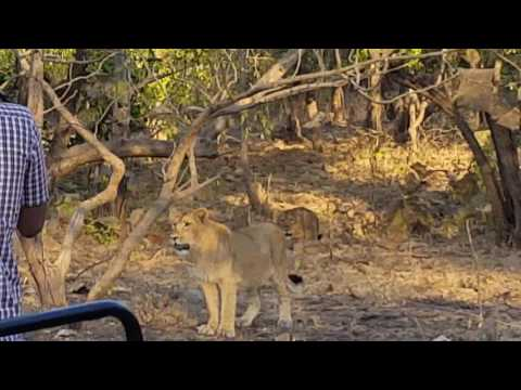 Face to Face Meeting with Asiatic Lions at Gir on 23 December