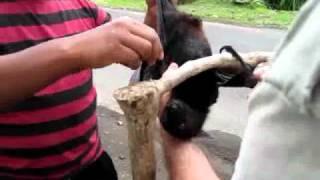 Забавные летучие собаки острова Бали