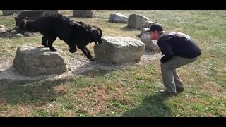 Dog Training: 11 Month Old Newfoundland, Otis! Before/After 2 Week Board and Train!
