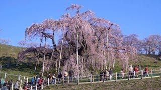 2019 三春の滝桜 (4K) Big Old Weeping Cherry Blossom At Miharu In Fukushima(UHD)
