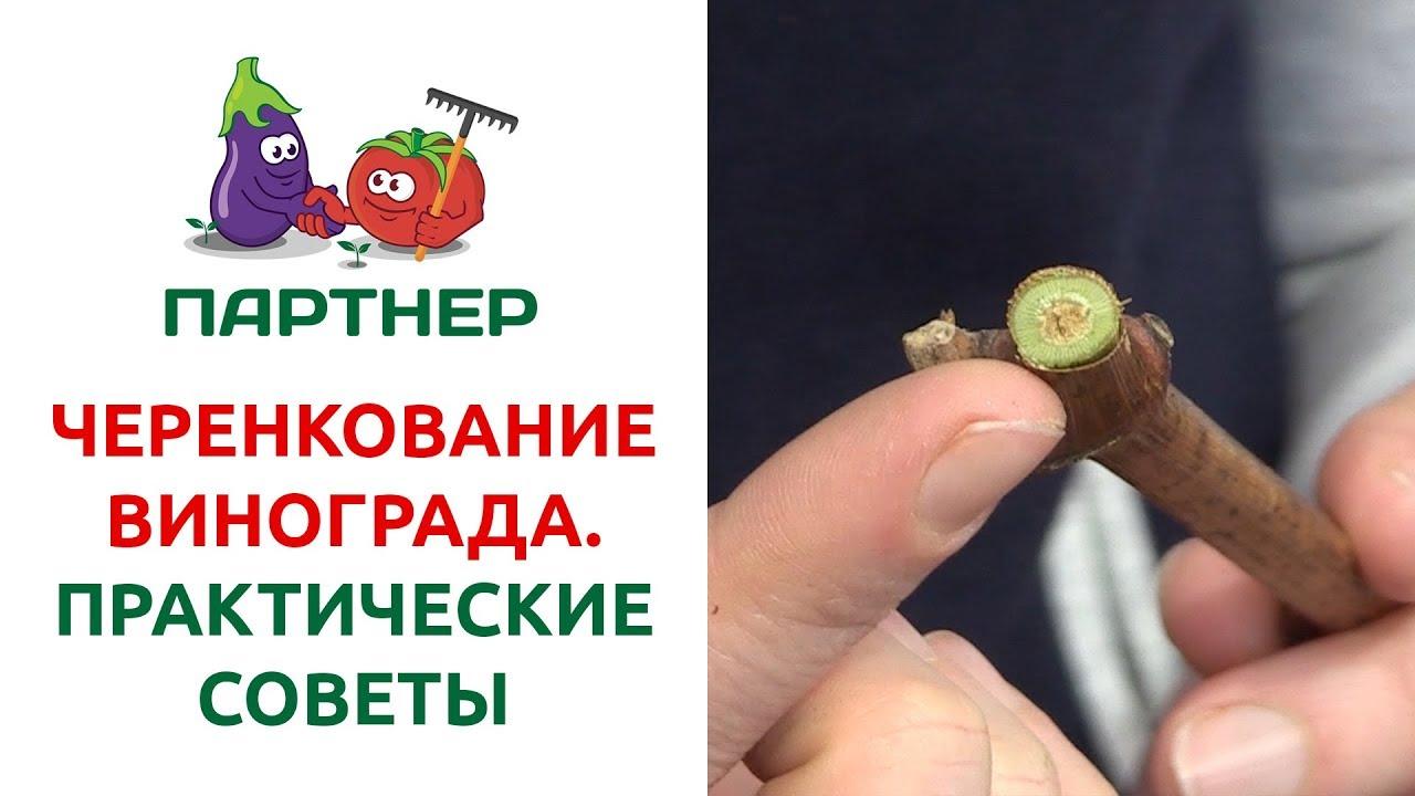 осеннее черенкование винограда видео