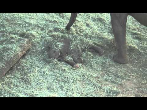 San Diego Zoo Baby Elephant Gets Buried Twice 10-15-12