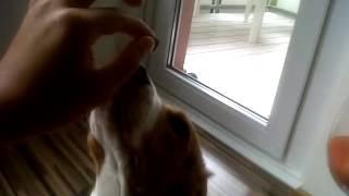 Beagle Welpen Sitzt Beibringen