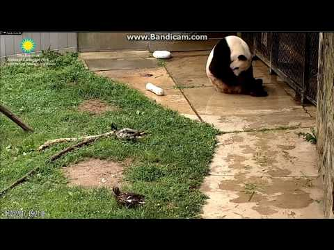 2017.07.07 Tian Tian's neighbor Mr. & Mrs. Duck visiting him in the morning