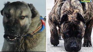 Top5 perros Poderosos que Derrotan al Pitbull facilmente