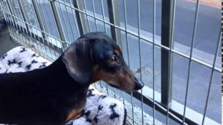 Dachshund Rescue Of Los Angeles