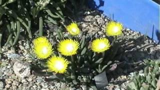 Cheiridopsis Flowering Time Lapse