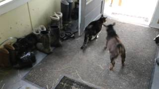 A Goat Trying to Headbutt A Cat