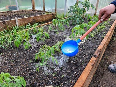 ДВЕ ПОДКОРМКИ ЗА ОДИН РАЗ. Этот маленький трюк сделает ваши томаты счастливее Подкормка ДВА В ОДНОМ