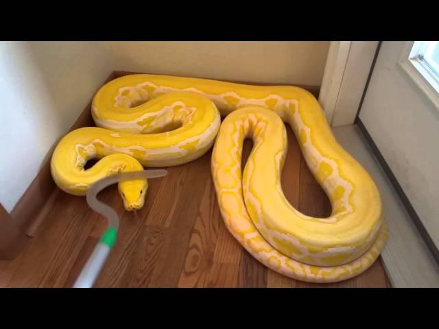 Reticulated Python handling in defense mode (zulu)