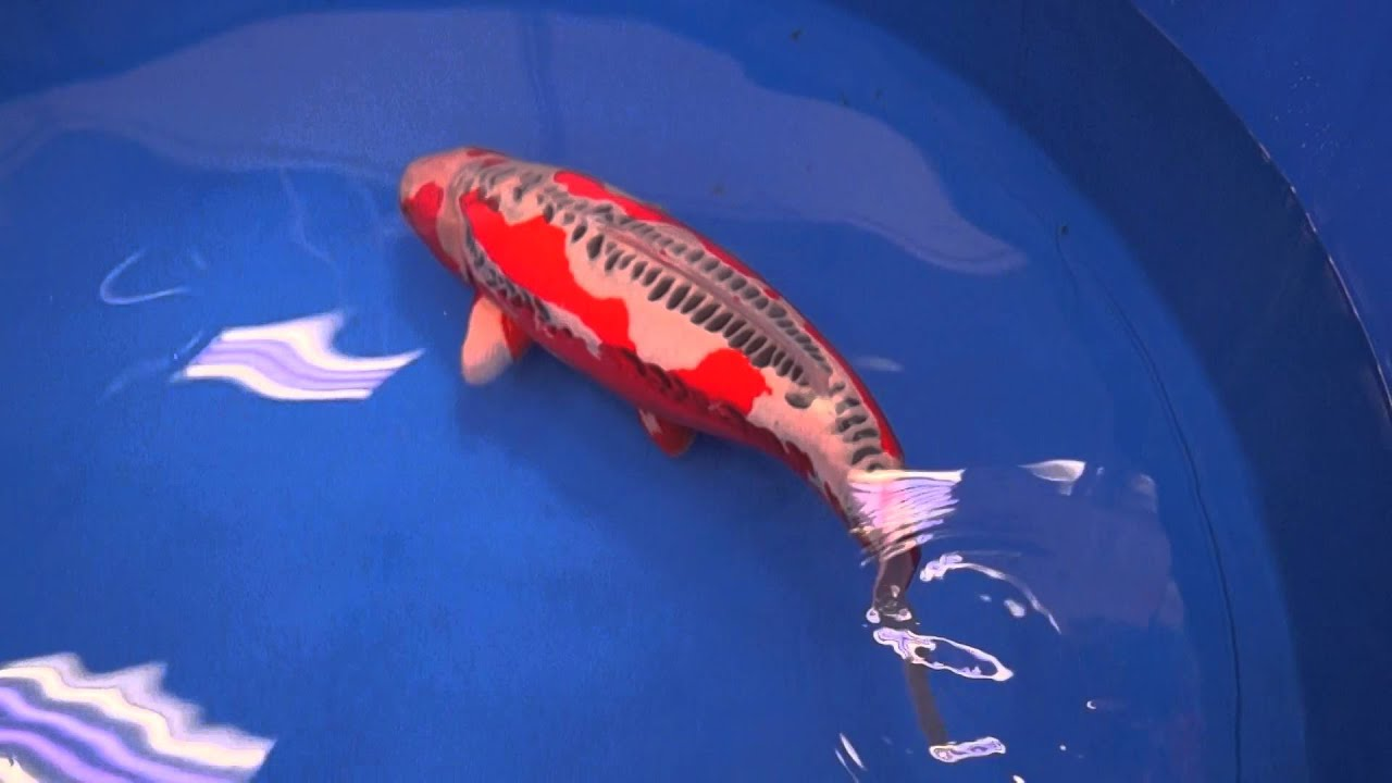 Shusui bestinvariety 2016 all japan koi show youtube for Keeping koi