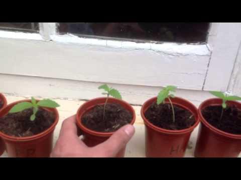 Outdoor Cannabis Grow 2013 pt1