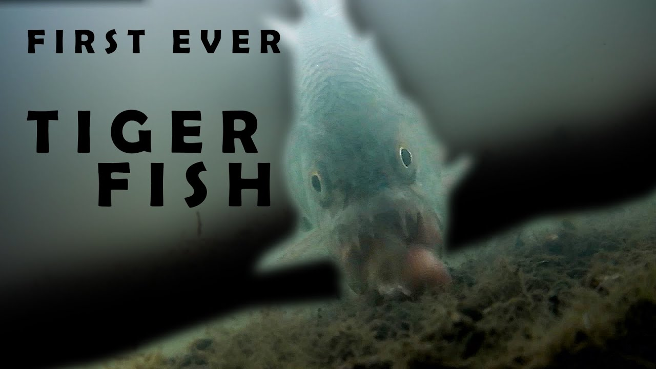 TIGER FISH! How to catch Tiger Fish for the first time. (under water footage)