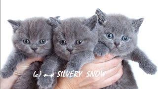 Британские котята могут быть ласковыми? Да, это факт!
