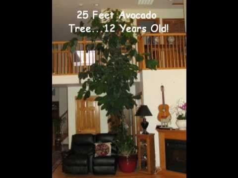 20 Foot Avocado Tree Bird Of Paradise Plants Orchids