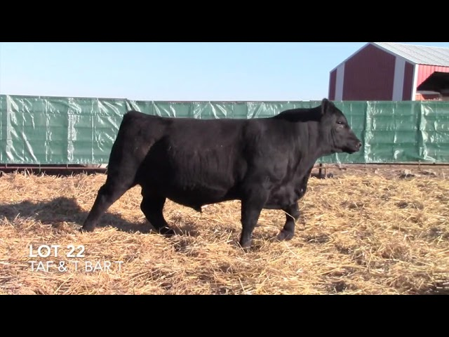 T Bar T and Taliaferro Angus Lot 22
