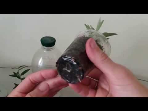 Как укоренить оливу
