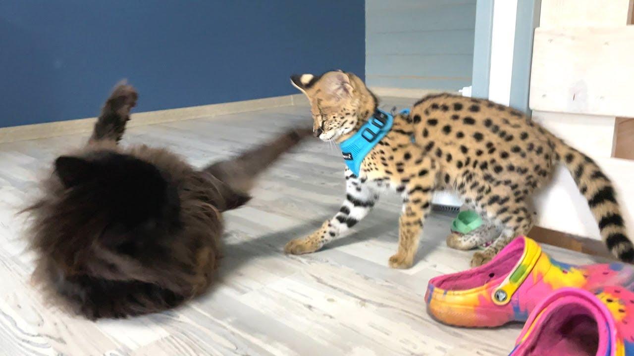 РУКОПАШНЫЙ БОЙ СЕРВАЛА И МЕЙН КУНА / Микки знакомится с котами