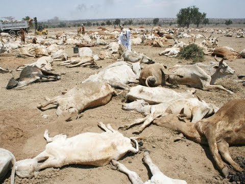 300 cows shot dead by police in Laikipia County