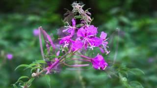 Fireweed - Schmalblättriges Weidenröschen - Epilobium Angustifolium