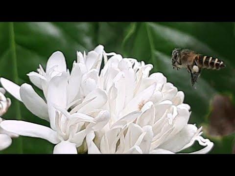 keren....!-kumpulan-video-slow-motion-lebah-penghisap-bunga-kopi