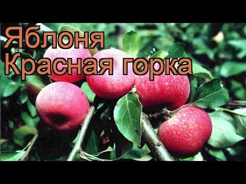 Яблоня обыкновенная Красная горка (malus) 🌿 обзор: как сажать, саженцы яблони Красная горка