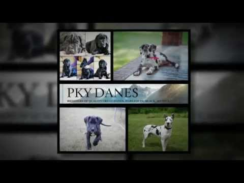 PKY Great Danes Past  Puppies